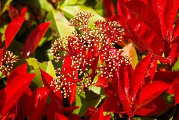 redtip photinia1