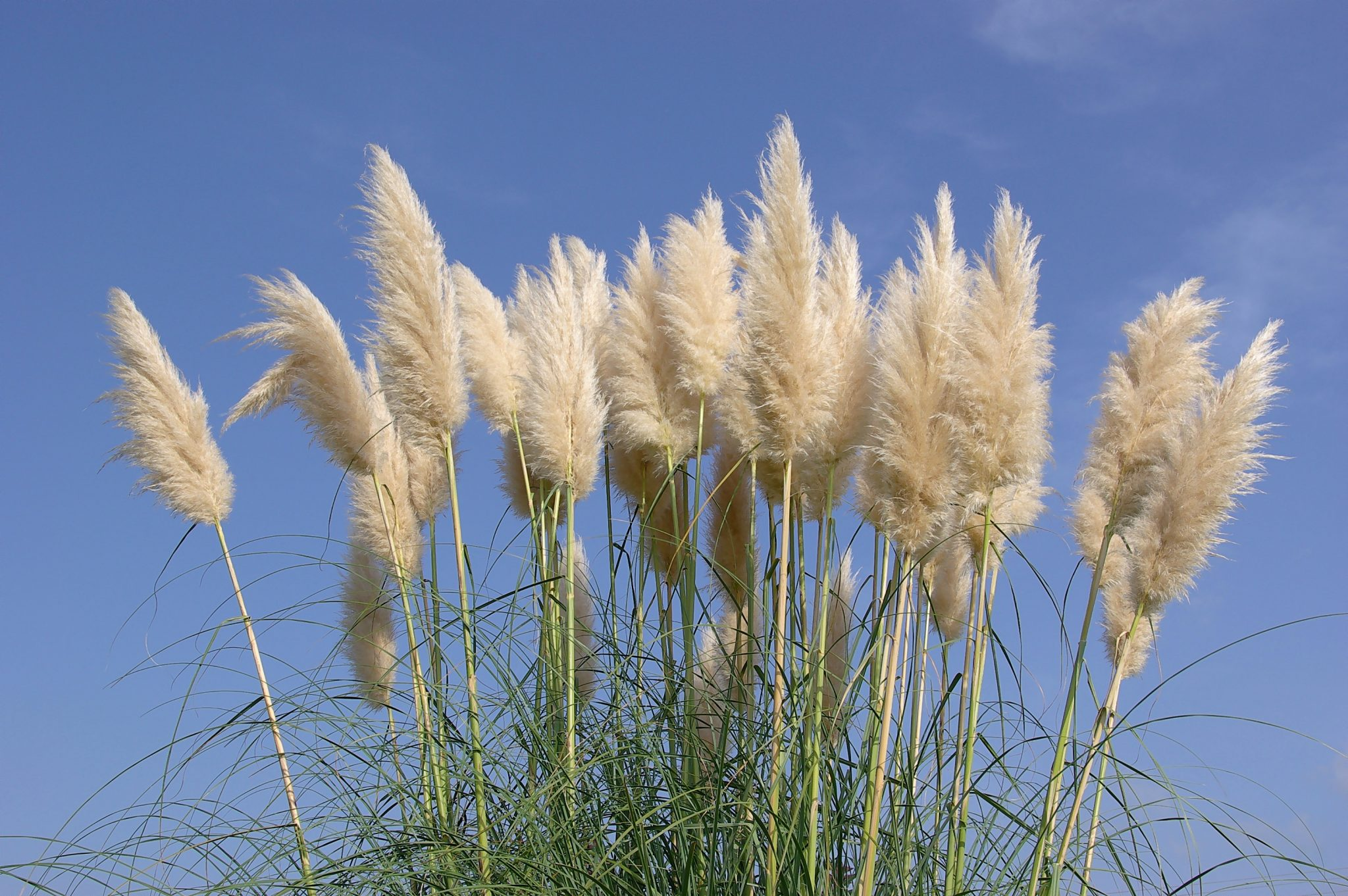 Pampas grass for Tall grass with plumes