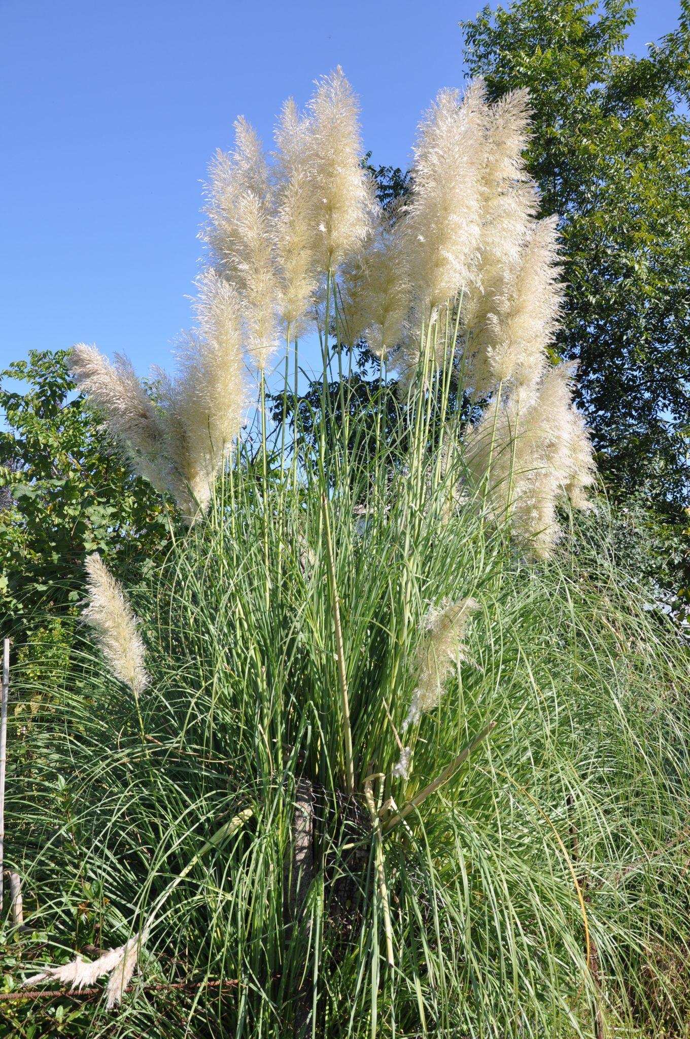 Pampas grass for Fast growing tall grass