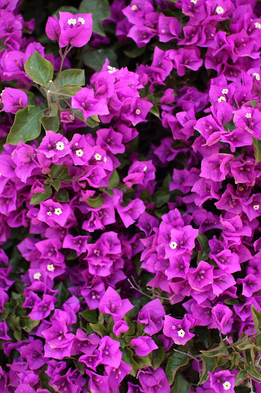 Royal Purple Bougainvillea