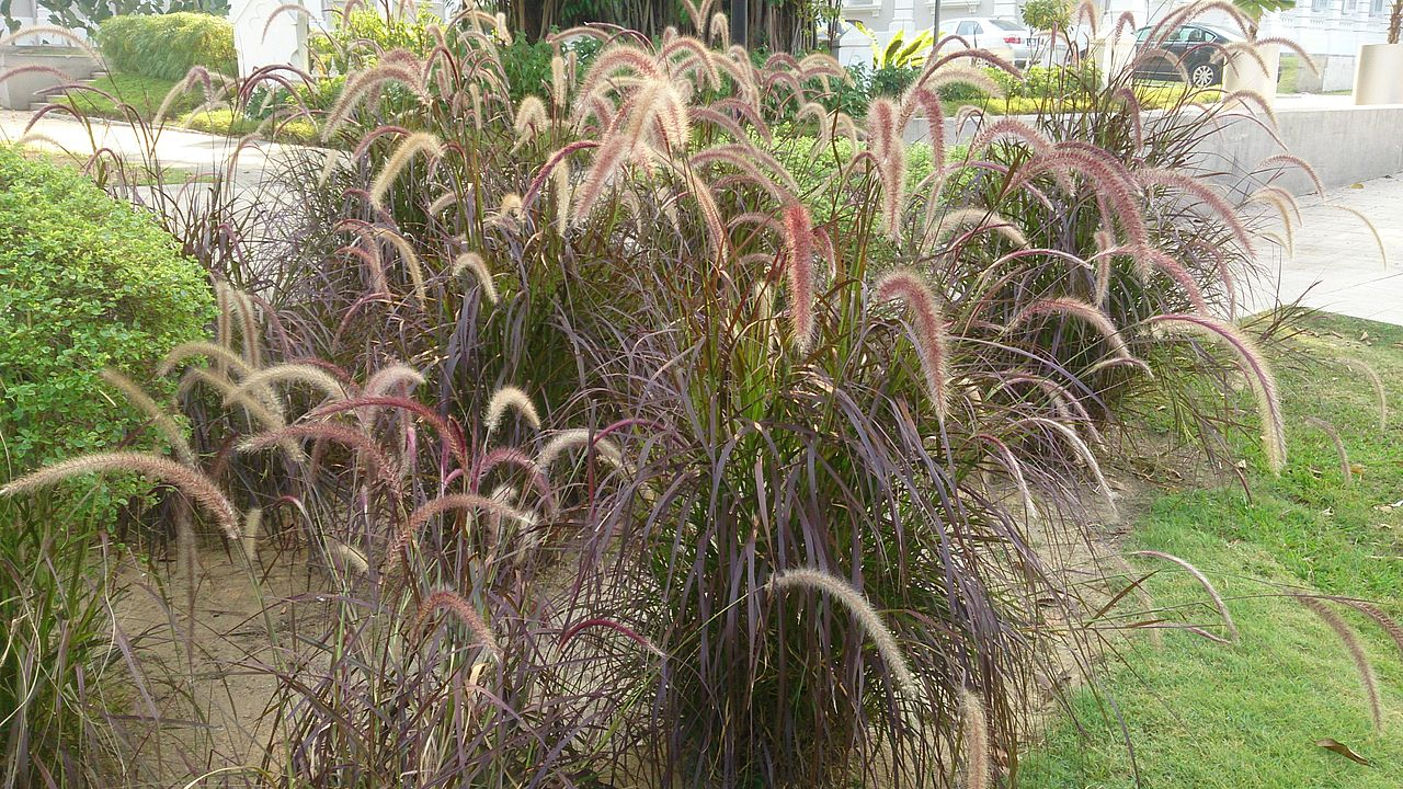 Red fountain grass for Fountain grass