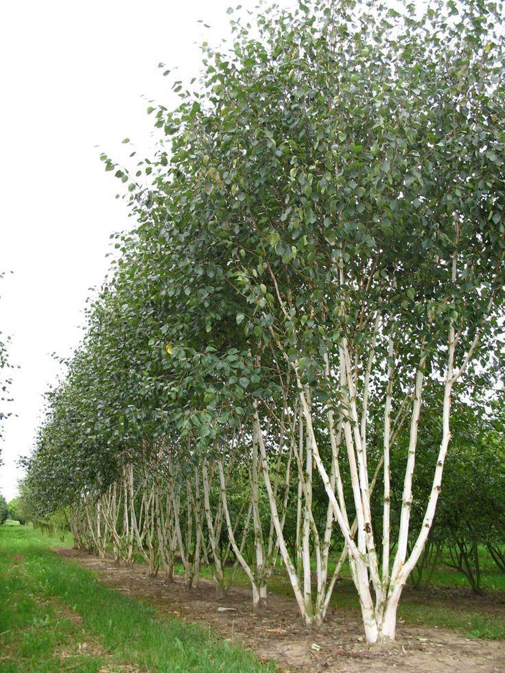 Silver birch for Silver birch trees for small gardens