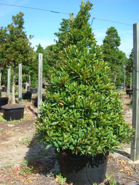 japanese blueberry tree