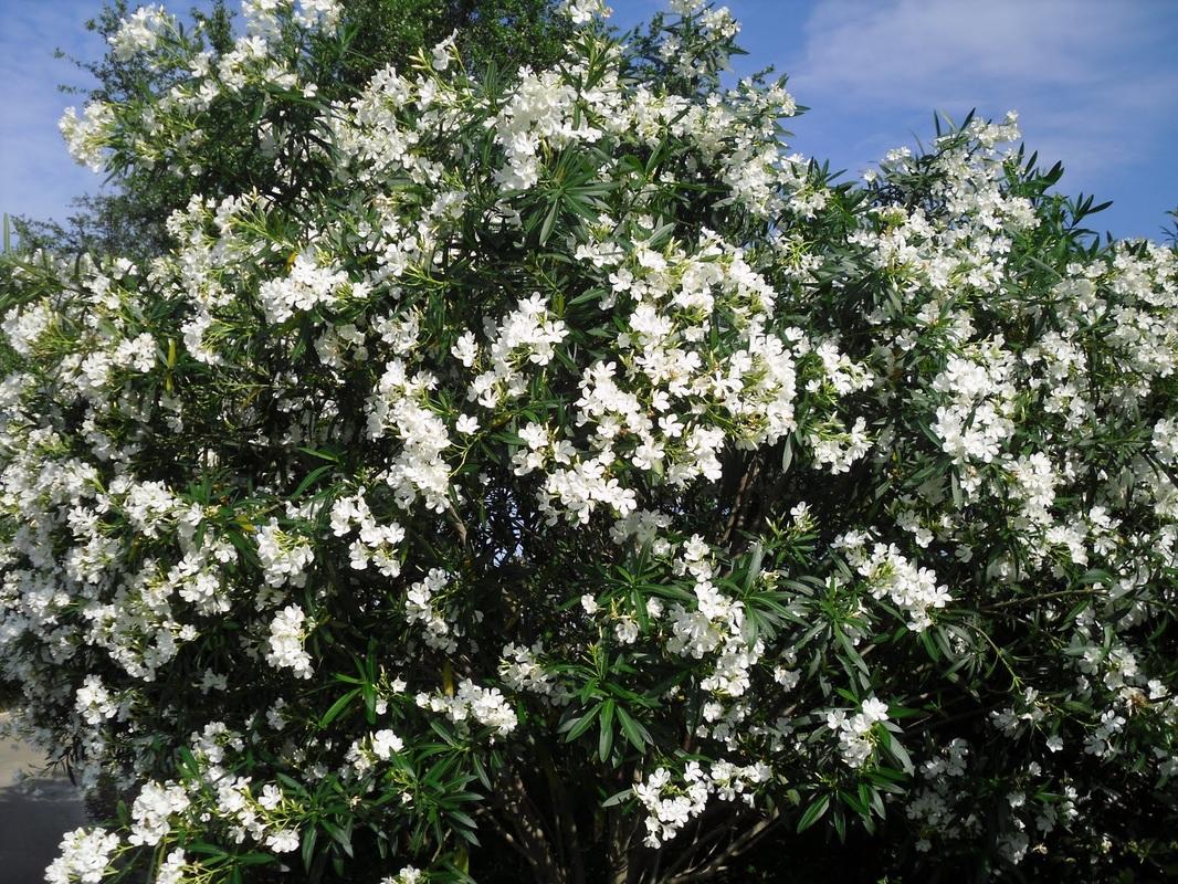 white oleander tree. Black Bedroom Furniture Sets. Home Design Ideas