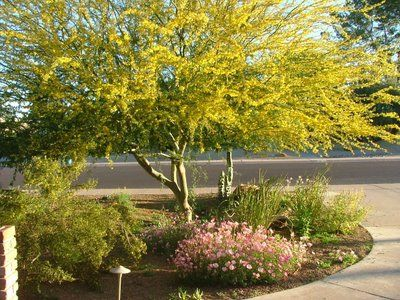 Desert museum palo verde low for Drought tolerant trees