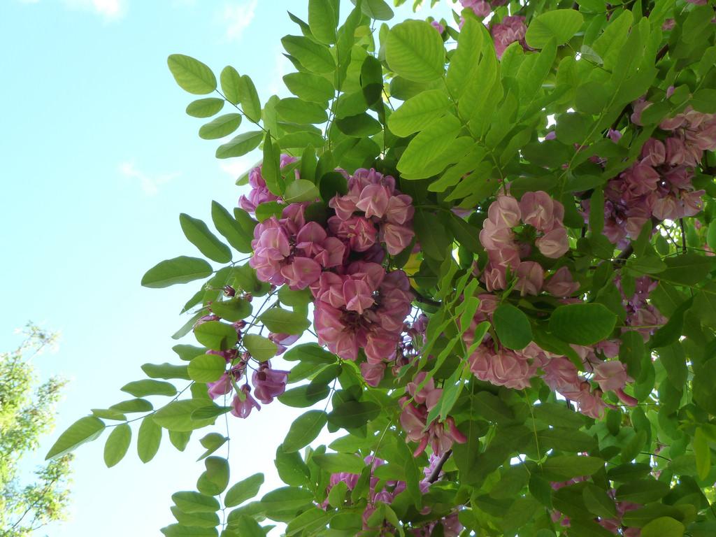 Purple robe locust mightylinksfo
