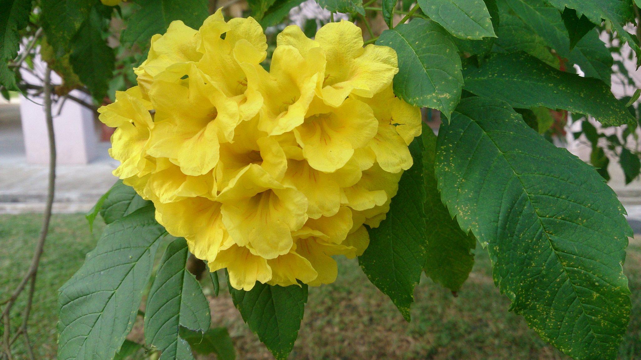 Yellow bells yellow bells tecoma mightylinksfo Images