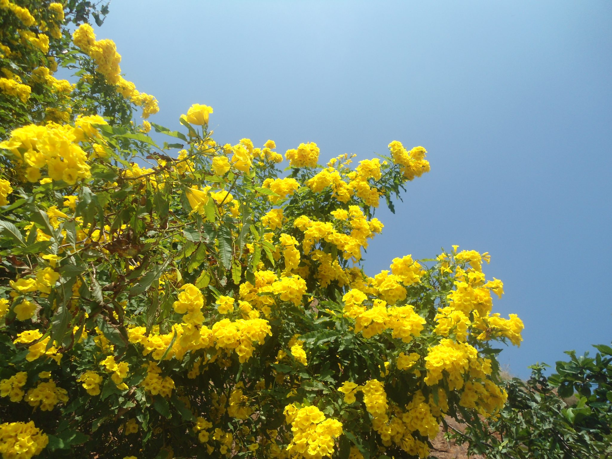Yellow bells yellow bells tecoma mightylinksfo