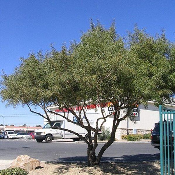 African Sumac Tree