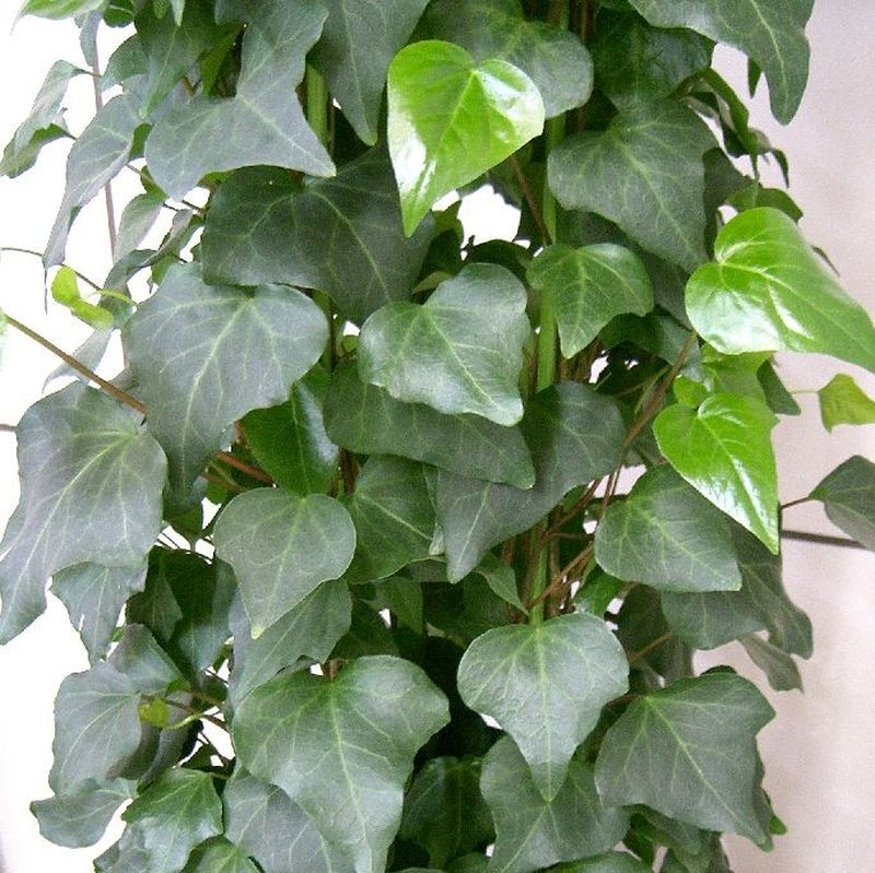 Picture of IVY ALGERIAN Live Plants Groundcover Plant Non-GMO Healthy Strong Root - 2 (TWO) LIVE PLANTS