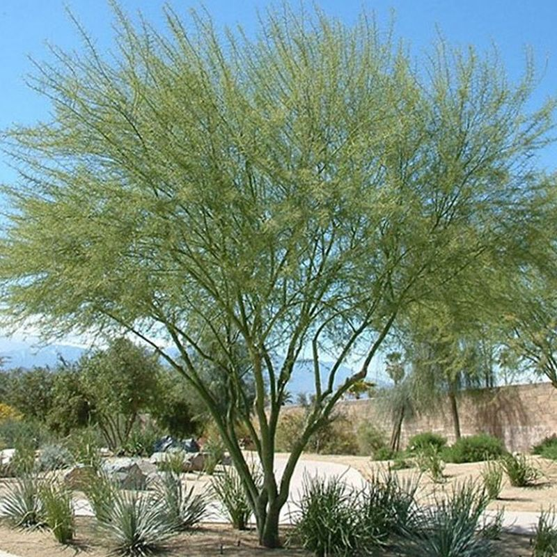 Desert Museum Palo Verde Tree