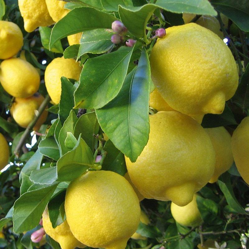 Dwarf Eureka Lemon