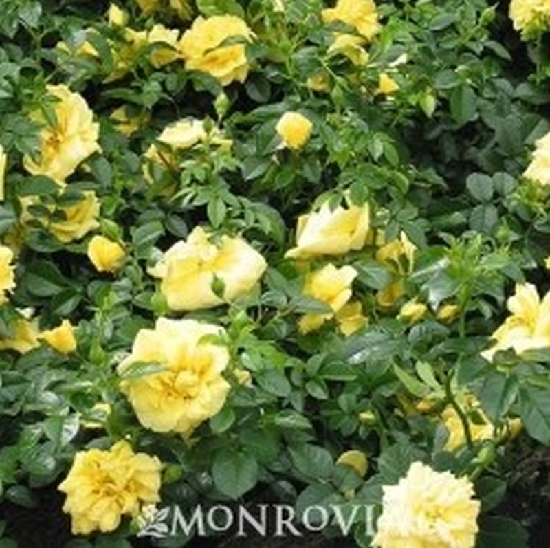 Flower Carpet Yellow Rose