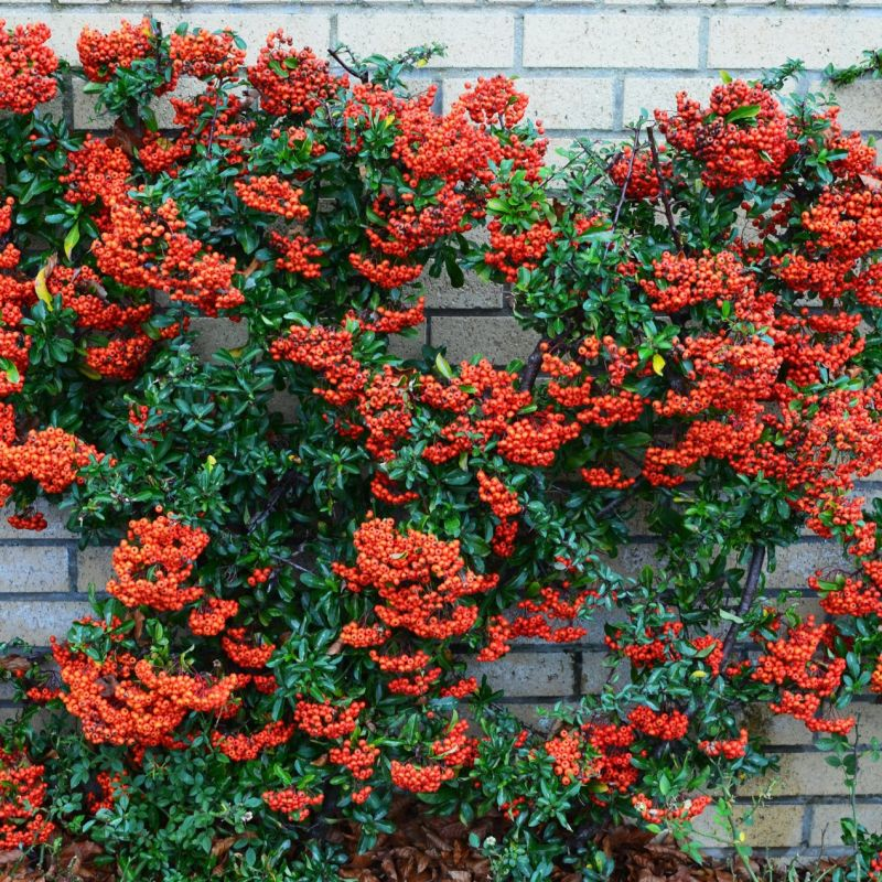 Graber Pyracantha Staked