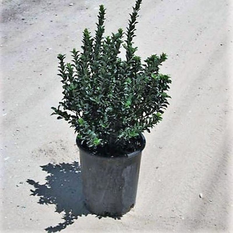 Greenspire Euonymus