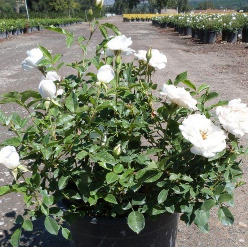 Picture of Live Rosa 'Iceberg' (White) Plant Fit 5 Gallon Pot