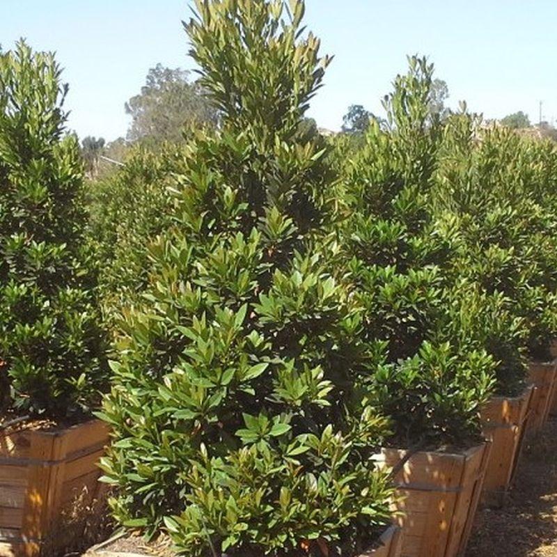 Anese Blueberry Tree Elaeocarpus Decipiens Std