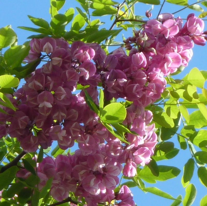 Purple robe locust robinia mightylinksfo