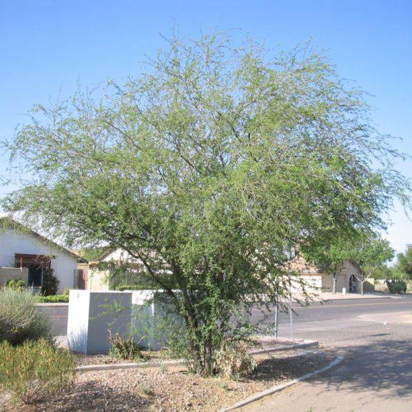 Star Nursery Garden Centers Plant Library Trees