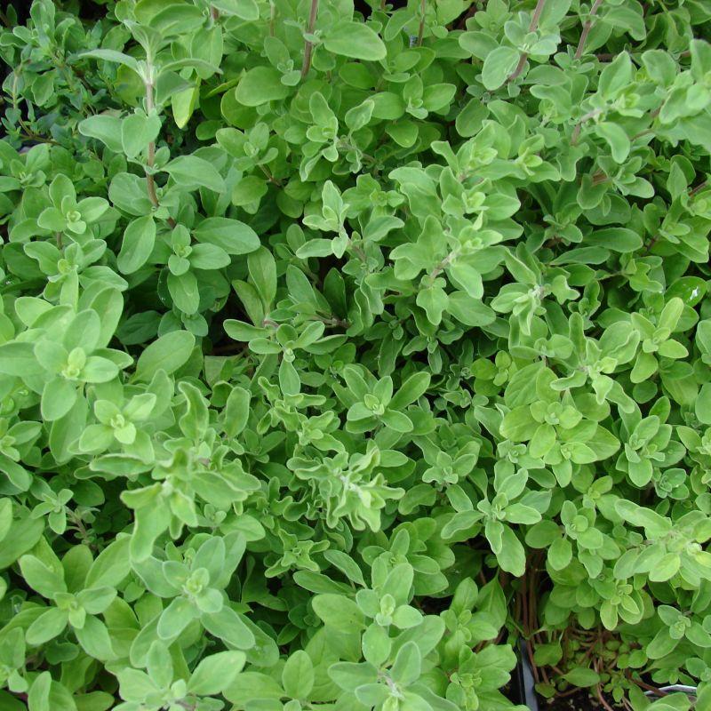 6 Sweet Marjoram herb Plants