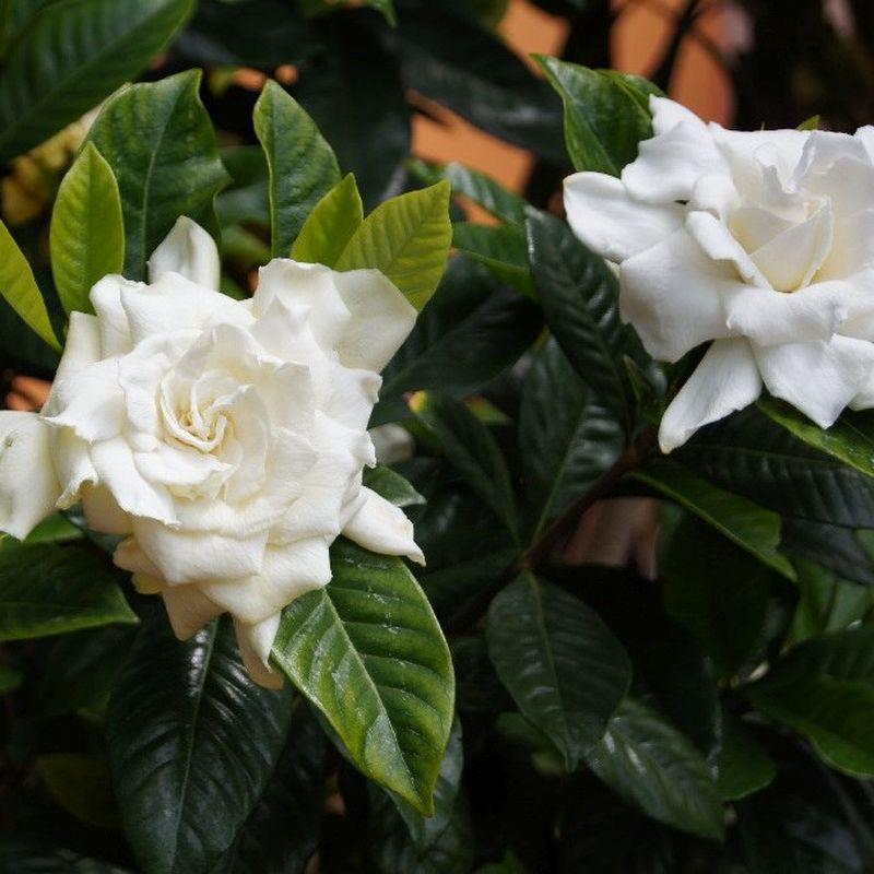Veitchii Gardenia