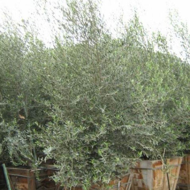 Picture of Live Wilson Fruitless Olive Tree aka Olea 'Wilsoni' multi Plant Fit 5 Gallon Pot