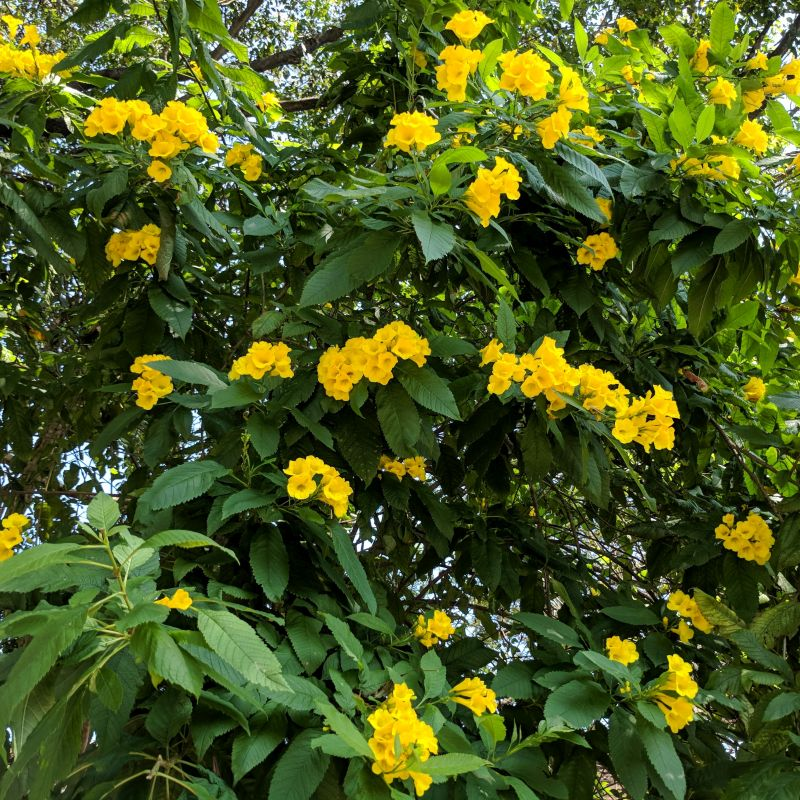 Yellow bells tecoma stans yellow bells mature height 8 mature width 8 light requirements full sun water requirements moderate water mightylinksfo