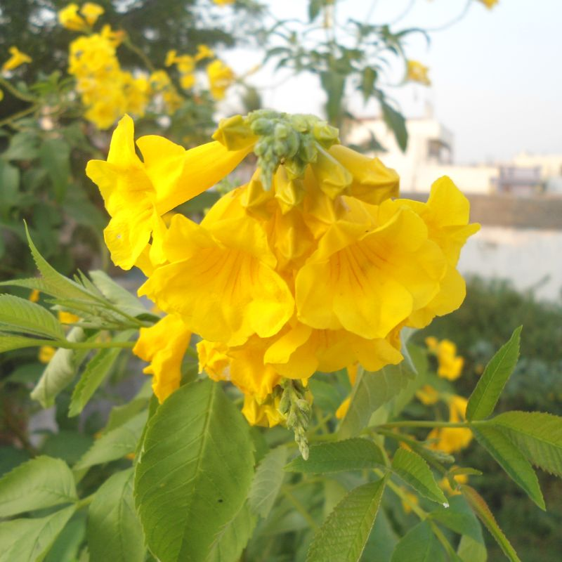Yellow bells mature width 8 light requirements full sun water requirements moderate water fertilizers dr qs rose flower food 6 12 4 mightylinksfo